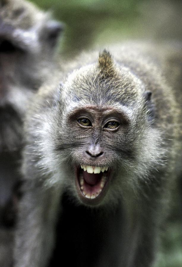 Crab eating macaque Macaca fascicularis showing facial aggression royalty free stock image