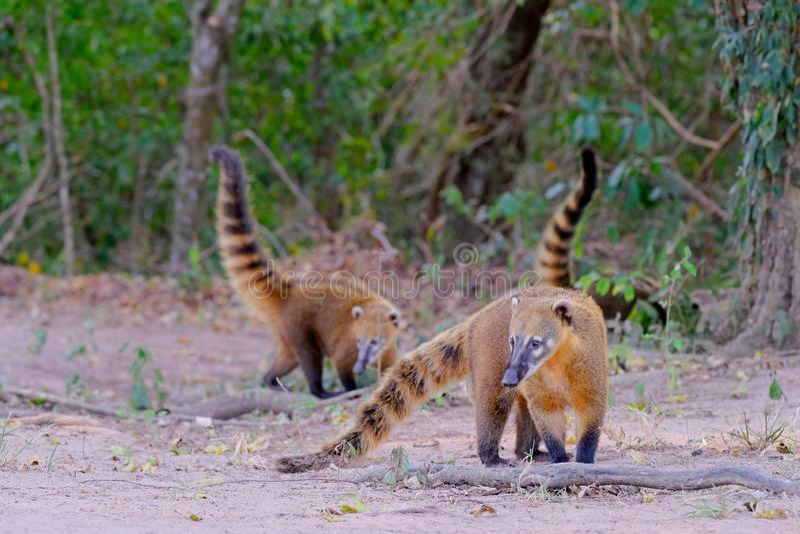 Crab-eating Raccoons, South American Raccoons, Procyon Cancrivorus, Mato Grosso, Pantanal, Brazil royalty free stock photo