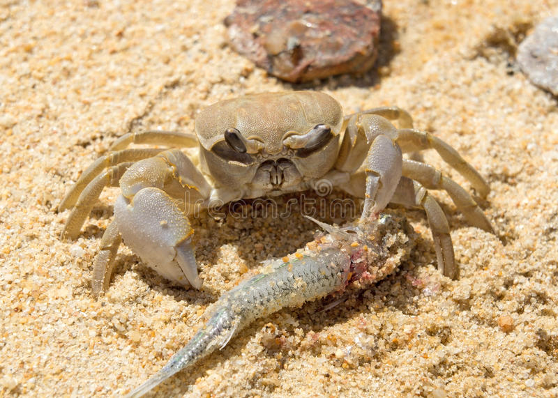 Crab eats a fish stock photo