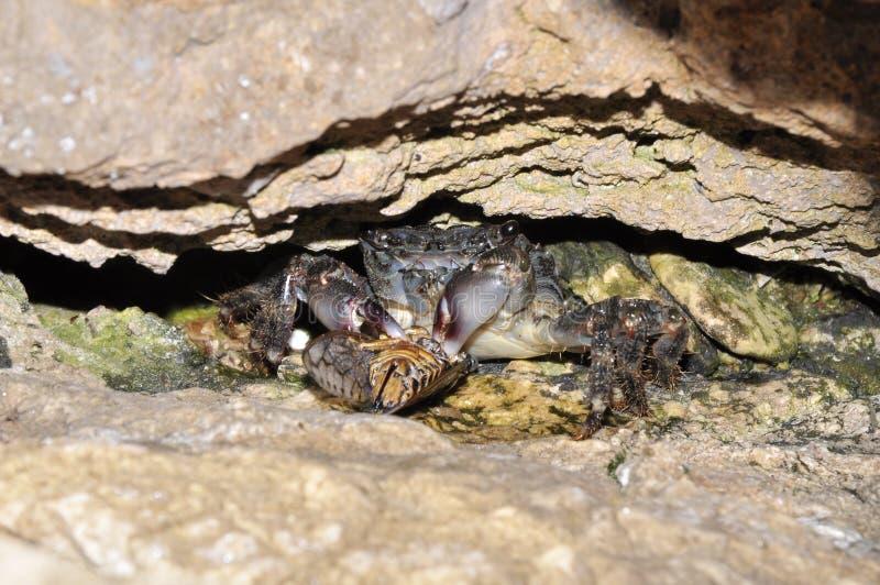 Crab escondido sob a pedra, Murter, Croácia fotos de stock royalty free