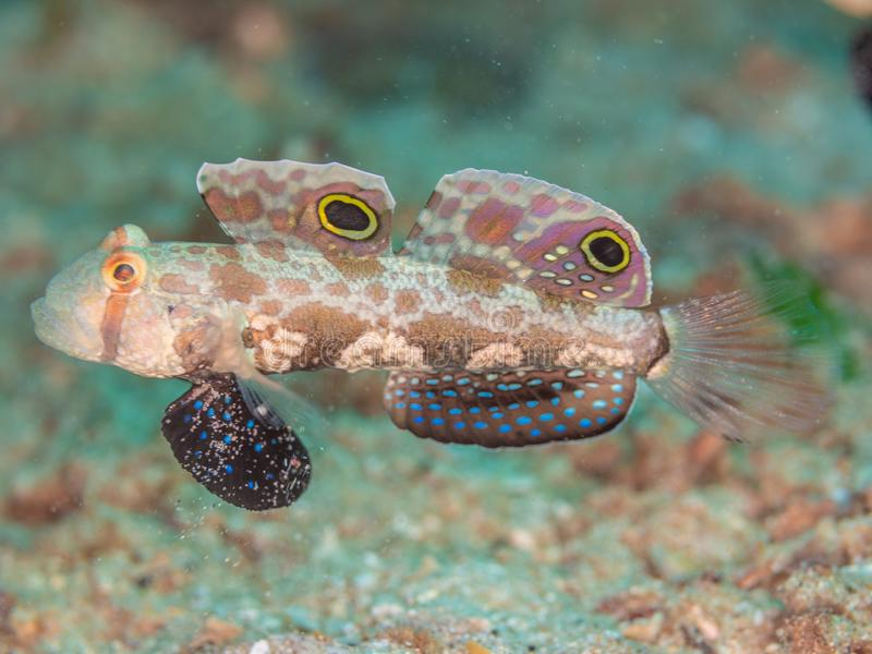Crab-eyed Goby, Signigobius biocellatus. North Sulawesi. Crab-eyed Goby, Signigobius biocellatus. Side on bokeh background. North Sulawesi, Indonesia royalty free stock image