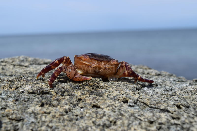 the crab is heated on the stone royalty free stock images