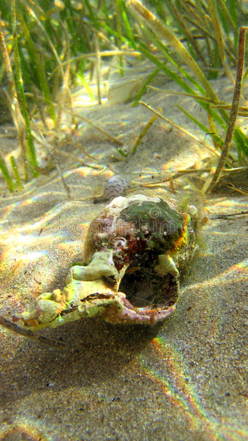 Crab inside shell in sea