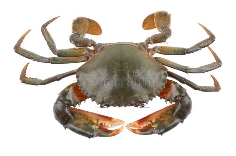 Download Crab stock image. Image of pincer, crab, delicious, marine - 31819621