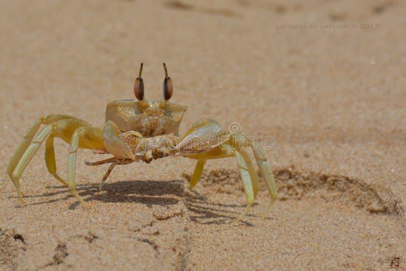 Crab King royalty free stock photography