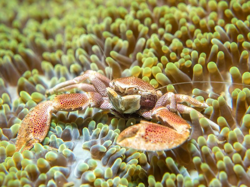 A crab that lives with an anemone royalty free stock photo