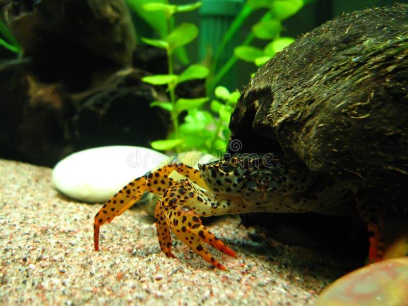 Crab no grotto do coco fotografia de stock royalty free