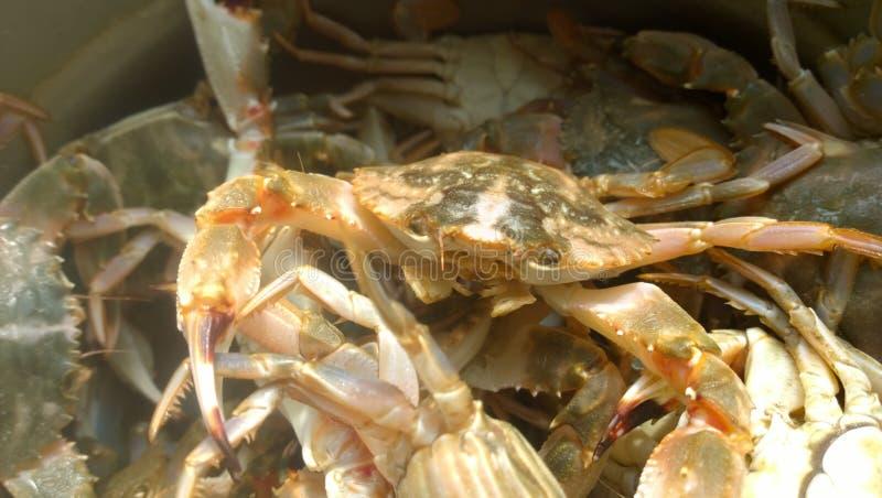Crab. (páng xiè): animal kingdom, Arthropoda, subphylum crustaceans, are crustaceans (crustacean), the vast majority of species of s living in the sea or stock photo