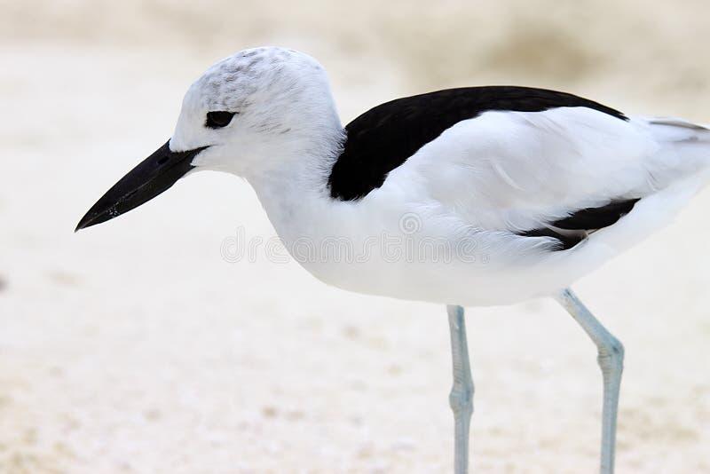 Download Crab Plover 4 stock photo. Image of beak, close, plover - 10811942