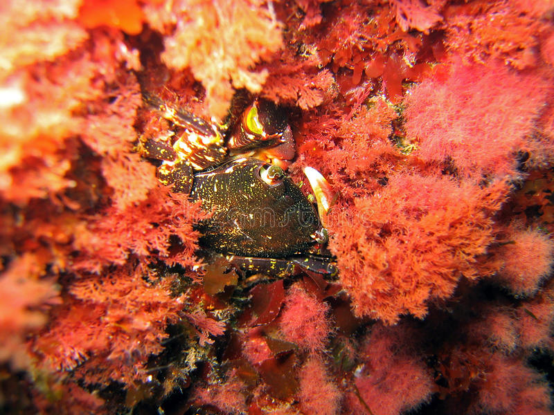 Crab in red algae royalty free stock photos