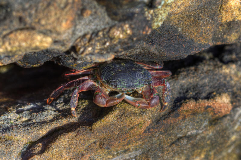 Crab in Rock stock photo