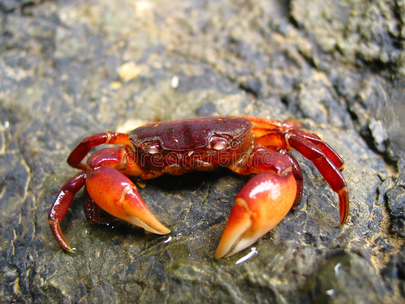 Crab on a rock stock image
