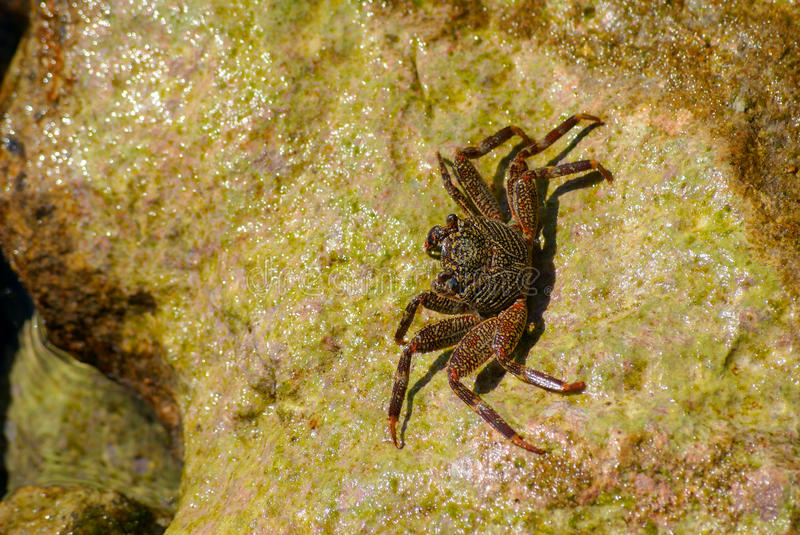 Crab on the rock royalty free stock images