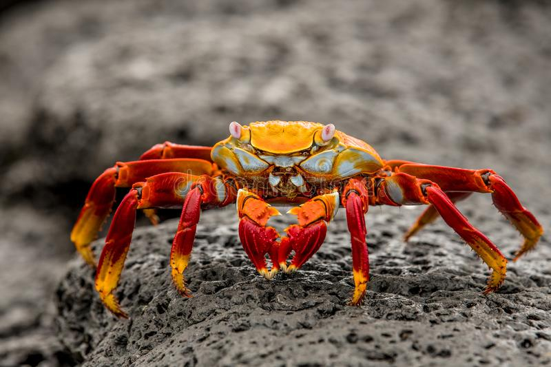 Crab on the Rocks in Galapgos stock photo