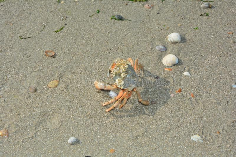 Crab in the sand with shells stock photos
