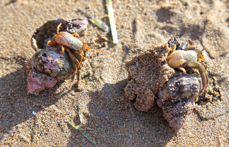 Crab on the sandy beach royalty free stock photography