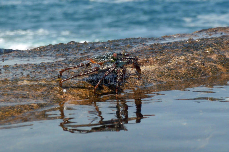 crab by the sea royalty free stock photo