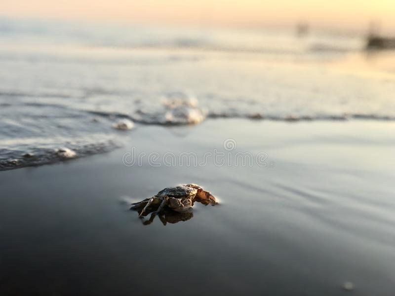 Live crab by the sea. Crab by the sea. Nature royalty free stock photos