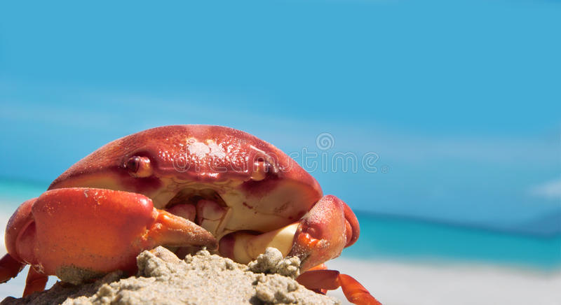 Crab on seaside. The big beautiful crab is siting on the tropical beach. The blurred sea, sky, sand as the background. The blue sky is free for your text stock images