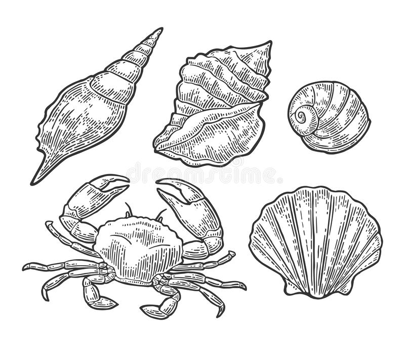 Crab and shell isolated on white background. Vector engraving royalty free illustration