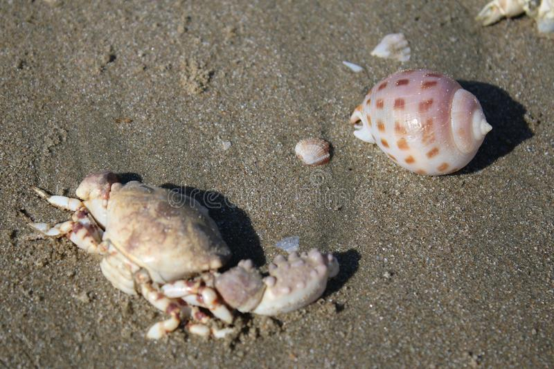 Crab and shells on the grey sand in the open air stock photography