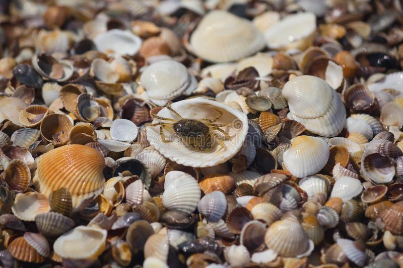Crab and shells on the seashore royalty free stock images