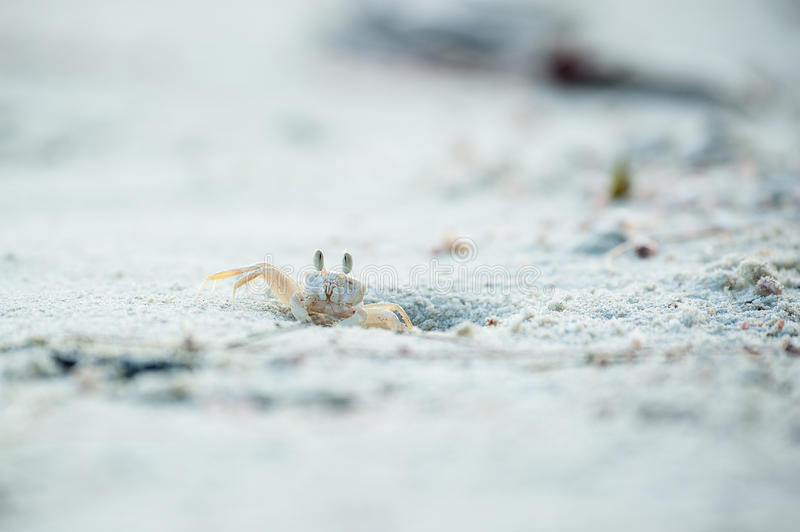 Crab on shore in close-up view. Ghost Crab (Ocypode quadrata) on a white sandy beach stock images