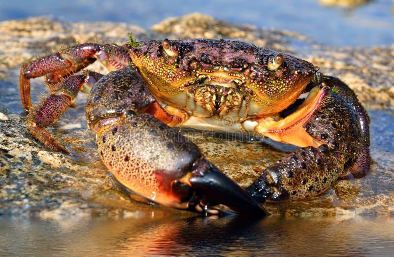 Crab sits on coastal rocks stock image