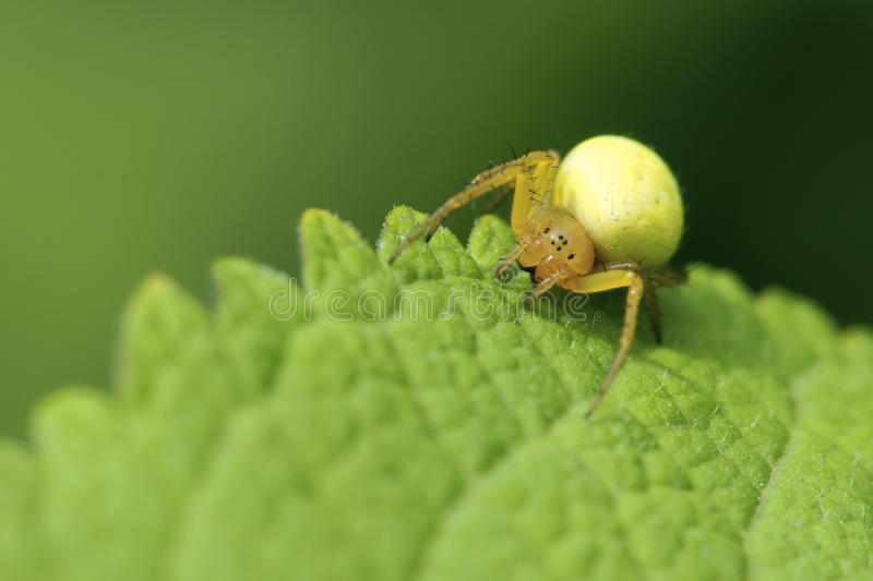 Crab spider royalty free stock photography