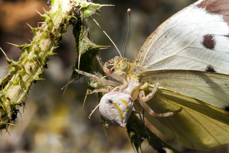 Crab spider with a captured butterfly in nature stock photos