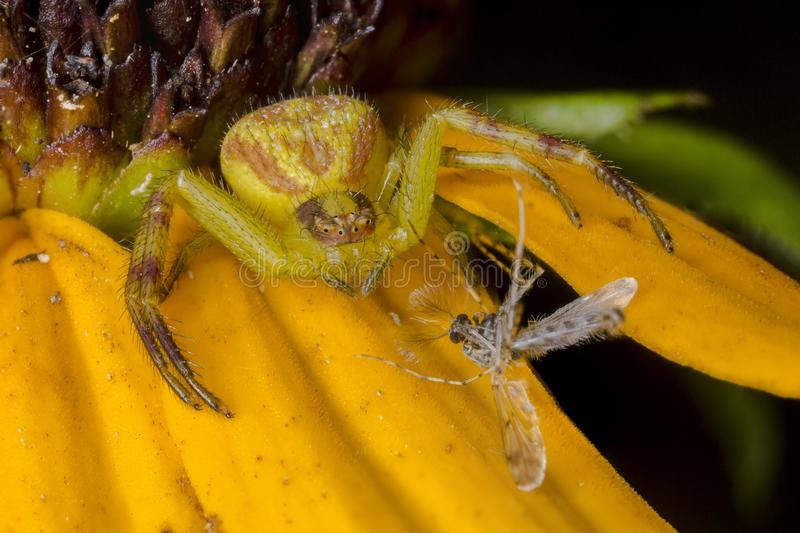 Crab Spider with a captured midge fly on a Black-eyed Susan royalty free stock photo