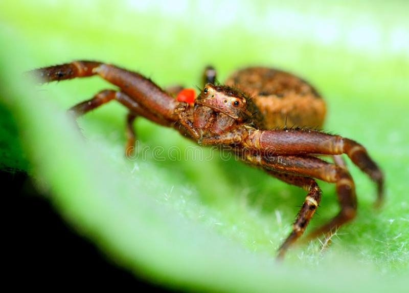 Download Crab Spider stock image. Image of flower, animal, predator - 33017861