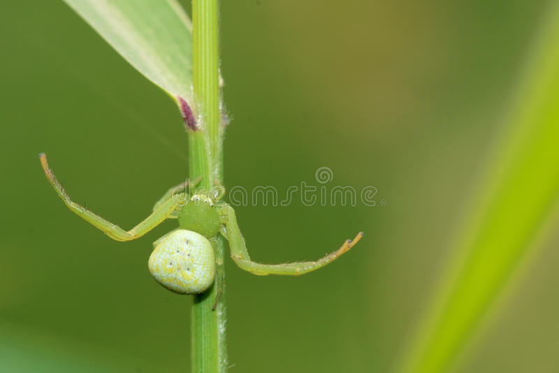 Crab spider. A small crab spider on grass stem stock photo