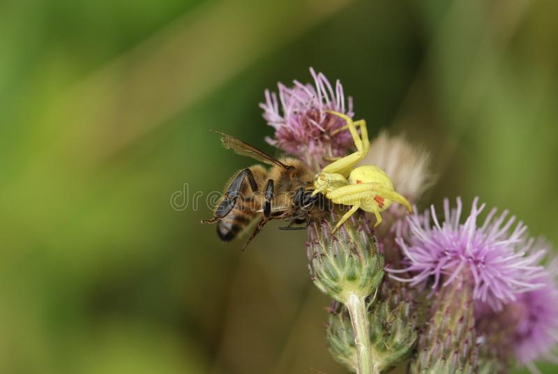 A Crab Spider, Thomisidae, Misumena vatia, feeding on a Honey Bee, that it has just caught whilst hunting on a Thistle flower. royalty free stock photo