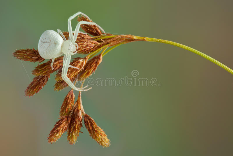 Crab spider waiting. A female crab spider is waiting for a meal stock photos