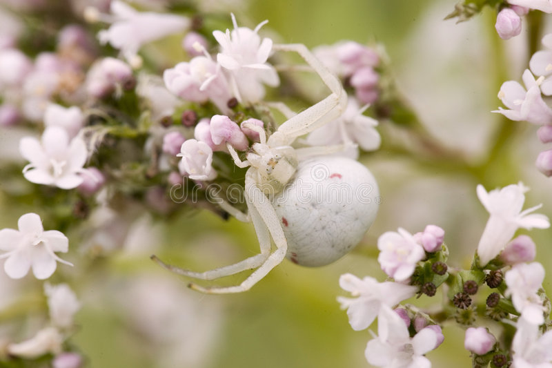 Crab spider waiting. A crab spider is waiting on a prey royalty free stock image