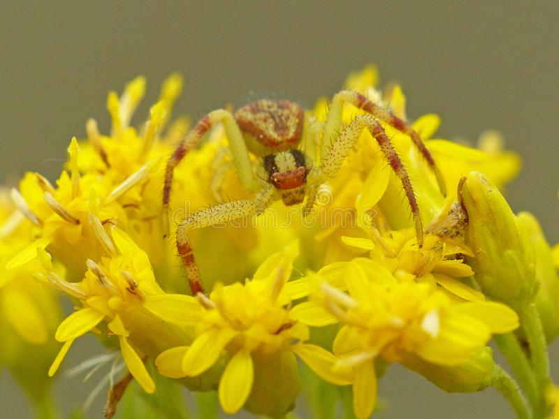 Crab Spider On Yellow Flower royalty free stock photography