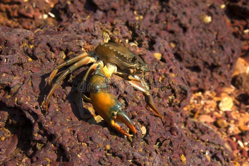 Crab on stone royalty free stock image
