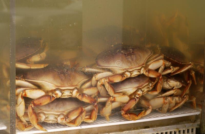 Crab in Tank royalty free stock photos