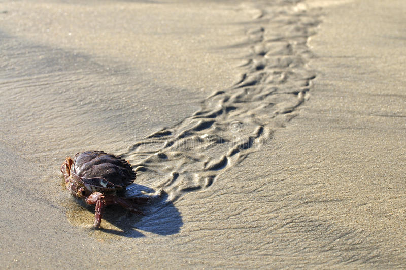 Download Crab walk stock photo. Image of track, shell, decapod - 22598714
