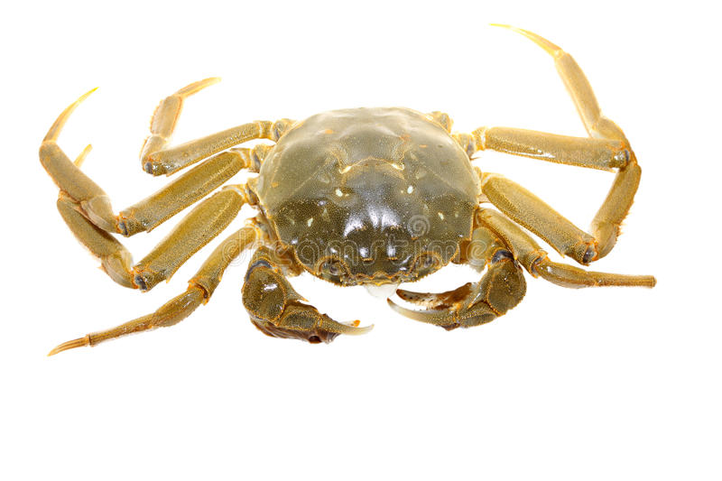 Crab on a white background. Closeup of crab on a white background royalty free stock photography