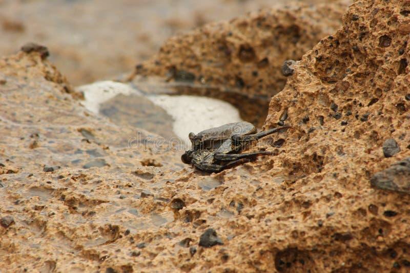 Crab& x27 ; yeux de s photos stock