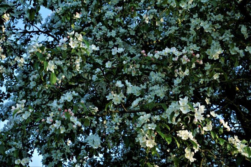 Crabappelbaum voller schöner weißer Blüten im Frühjahr stockfotos