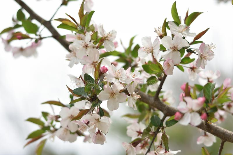 ` Crabapple作`美丽的山楂子开花有unretouched的乳状白色梦想的天空背景 免版税库存照片