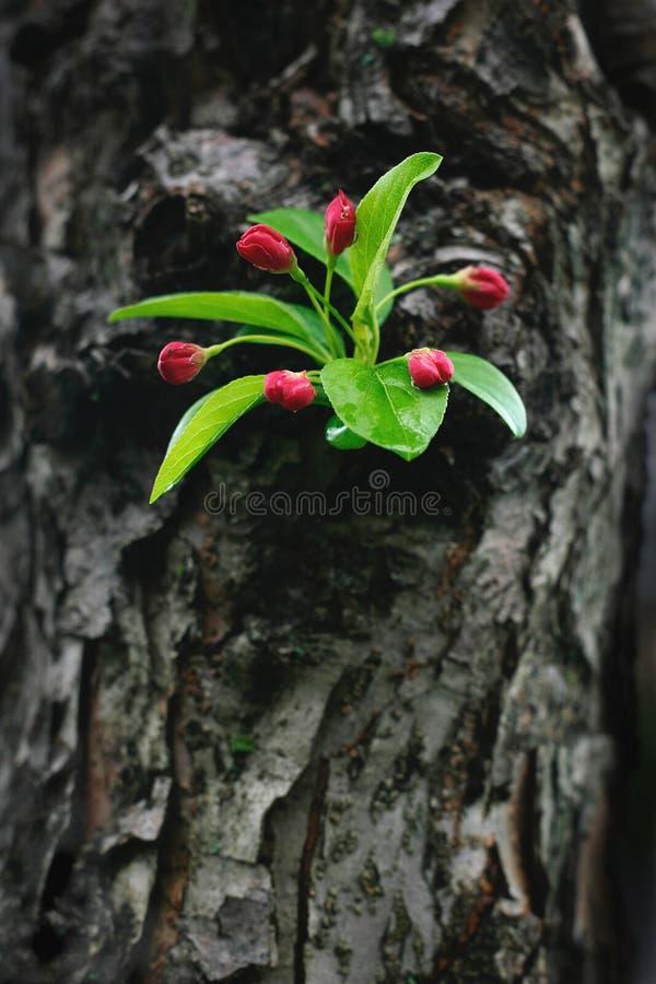 crabapple花卉旁枝树干 免版税图库摄影
