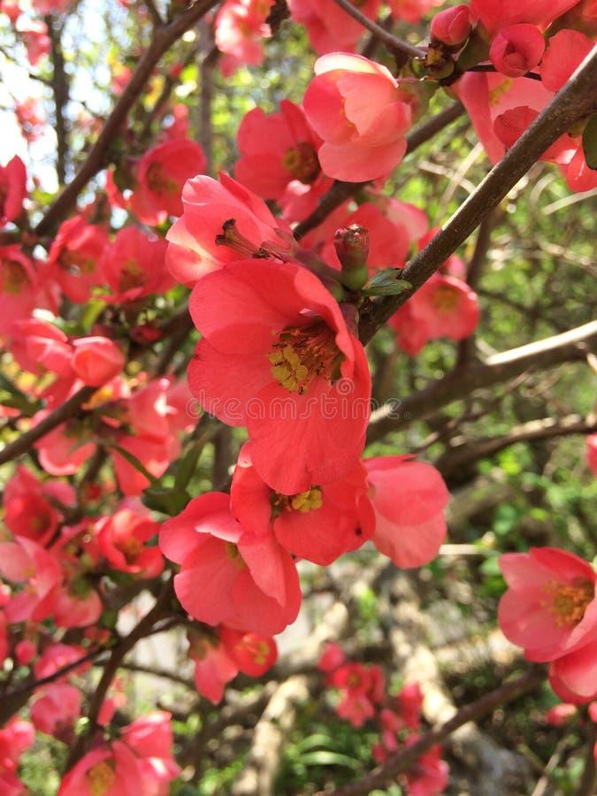 Crabapple разветвляет весной стоковое фото