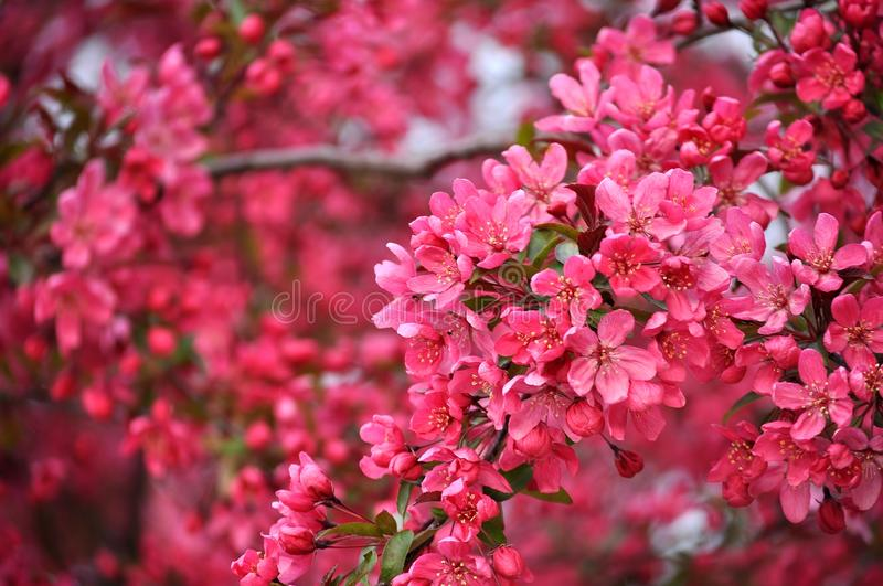 crabapple images stock