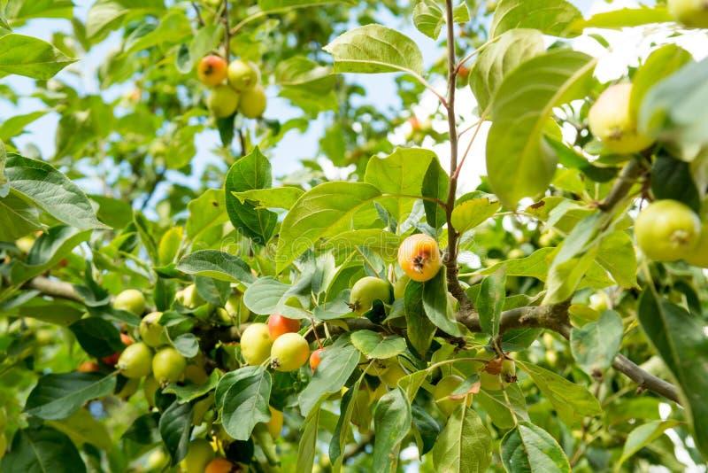Crabapple-Baum stockfoto