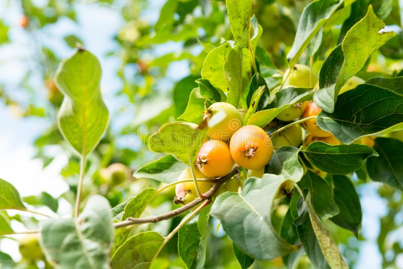 Crabapple-Baum stockfotos