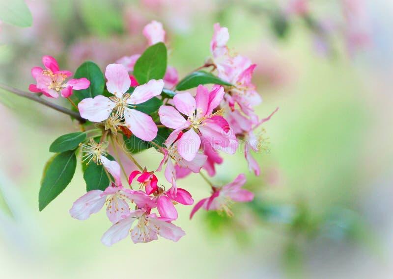 Crabapple Blüten lizenzfreies stockbild